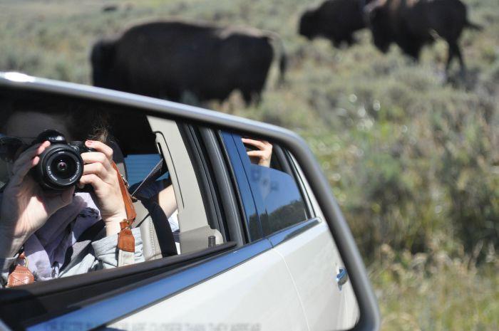 bison photos yellowstone